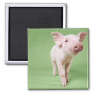 Studio Cut Out of a Piglet Standing Square Magnet
