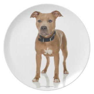 Studio portrait of American pit bull puppy Plate