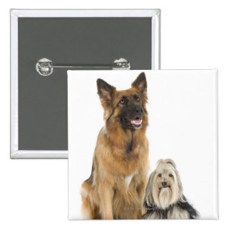 Studio portrait of Belgian shepherd and Shih Tzu 15 Cm Square Badge