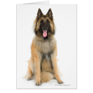 Studio portrait of Belgian shepherd dog Greeting Cards
