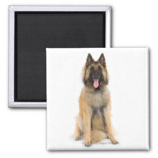 Studio portrait of Belgian shepherd dog Square Magnet