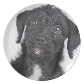 Studio portrait of black jack-a-doodle plate