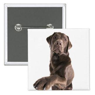 Studio portrait of Chocolate Labrador 15 Cm Square Badge