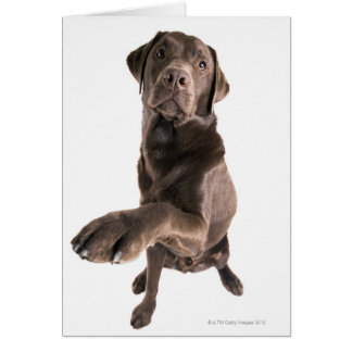 Studio portrait of Chocolate Labrador Card