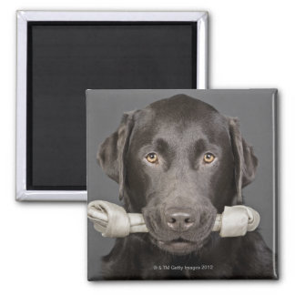 Studio portrait of chocolate labrador carrying square magnet