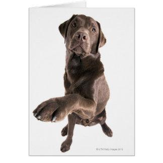 Studio portrait of Chocolate Labrador Greeting Card
