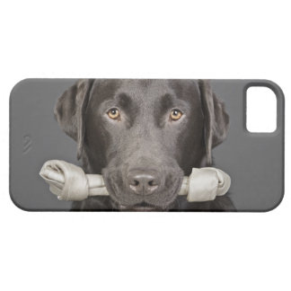 Studio portrait of Chocolate Labrador iPhone 5 Cover