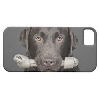 Studio portrait of Chocolate Labrador iPhone 5 Cover
