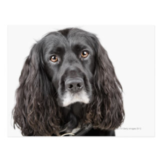 Studio portrait of cocker spaniel postcard