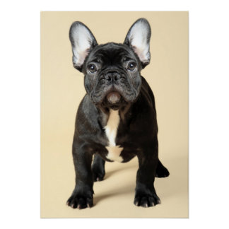 Studio portrait of French bulldog puppy standing Poster