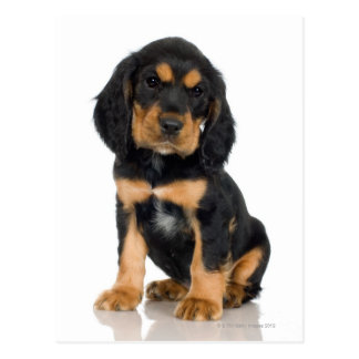 Studio portrait of Rottweiler puppy Postcard