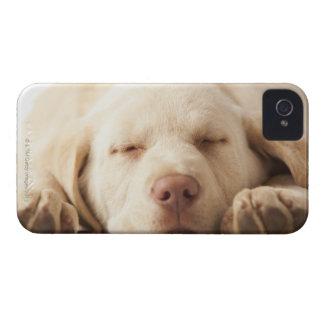 Studio portrait of Yellow Labrador Retriever iPhone 4 Case-Mate Cases