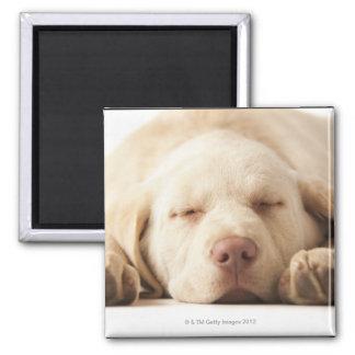 Studio portrait of Yellow Labrador Retriever Magnet