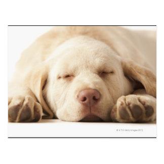 Studio portrait of Yellow Labrador Retriever Postcard