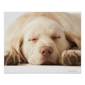 Studio portrait of Yellow Labrador Retriever Poster