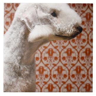 Studio shot of Bedlington Terrier Tile