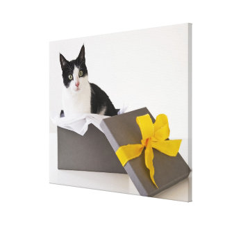 Studio shot of black and white cat in gift box canvas print