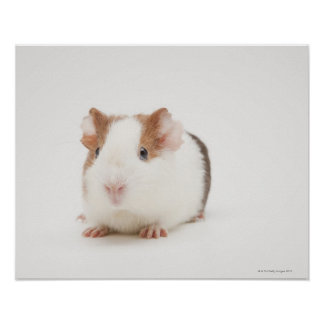 Studio shot of Guinea Pig Poster