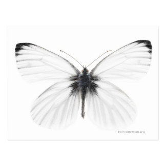 Studio shot of sharp-veined white butterfly postcard