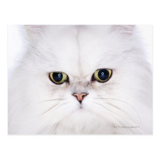 Studio shot of white Persian cat Postcard
