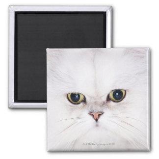 Studio shot of white Persian cat Square Magnet