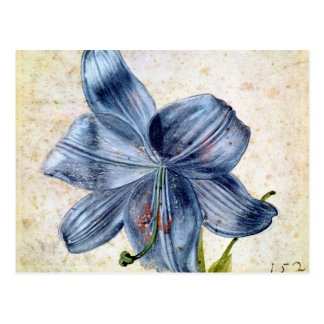 Study of a lily, 1526 postcard