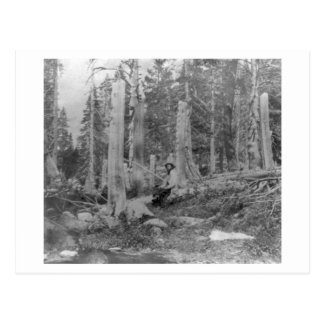 Stumps of Trees Cut down by Donner Party Postcard