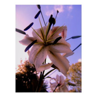 Stunning Beautiful Lilly Against A Summers Day Poster