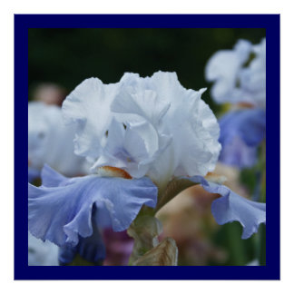 Stunning Blue and White Iris Posters
