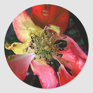 Stunning Delicate Weathered Winter Red Rose Classic Round Sticker