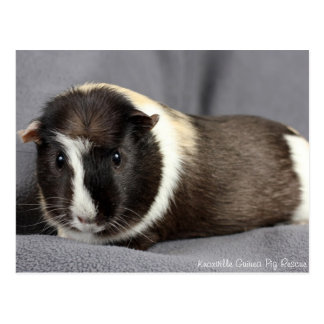 Stunning Guinea Pig Postcard