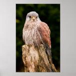 Stunning kestrel sat on a tree stump poster
