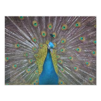 Stunning Peacock Photo Print
