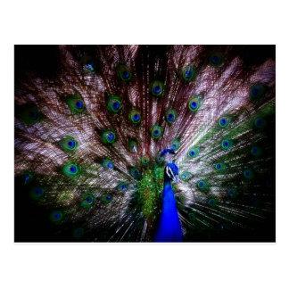 Stunning Peacock, Postcard