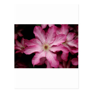 Stunning pink clematis print postcards