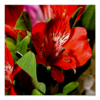 Stunning red flower poster