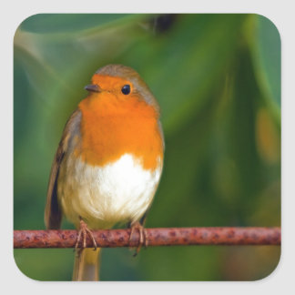 Stunning red Robin bird photo accessories, Xmas Square Stickers