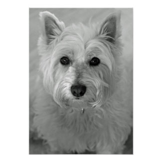 Stunning West Highland Terrier Dog (Westie) Poster