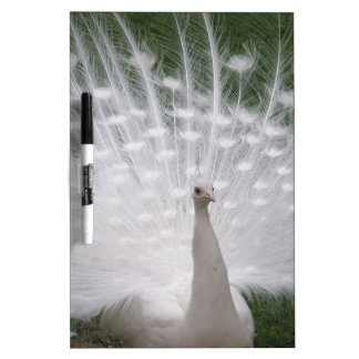 Stunning white Peacock ( Peafowl) full plume Dry Erase Board