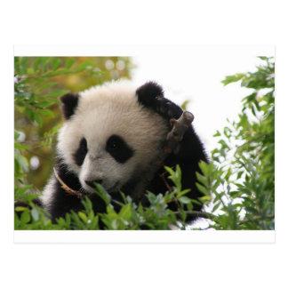 Su Lin, giant panda bear cub at the San Diego Zoo Postcard