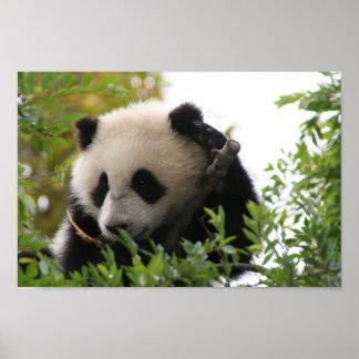 Su_Lin_giant_panda_bear_cub_at_the_San_Diego_Zoo Poster