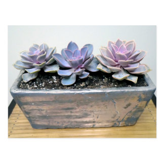 Succulent in Silver Container by Succulent Designs Postcard
