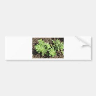 Succulents at The Sky Garden, London Bumper Sticker