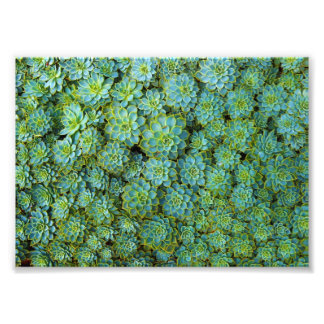 Succulents - Echeveria plant Photographic Print