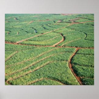 Sugar Cane Field Poster