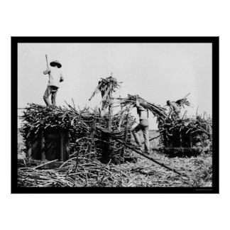 Sugar Cane Harvest in Hawaii 1917 Poster