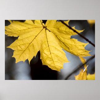 Sugar maple, fall poster