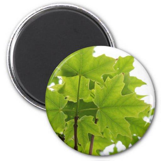 Sugar Maple Leaves Magnet