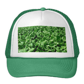 Sugarbeet field cap