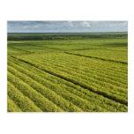 Sugarcane Plantations, Guyana Postcard